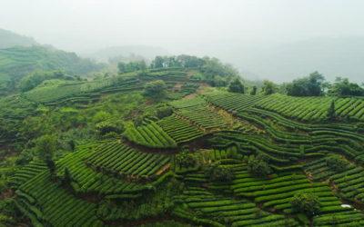 Les 10 régions qui produisent du thé dans le monde